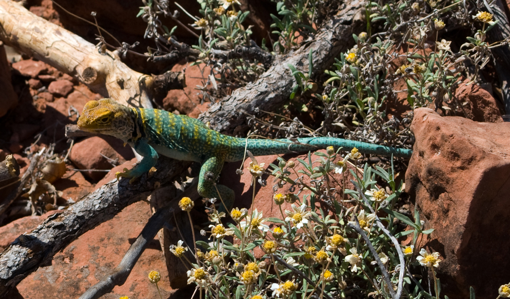 Lizard4136.jpg, Sedona Stock Images, Sedona Stock Photo, Landscape Photographer Victor Cariri, Brightly Colored Lizard
