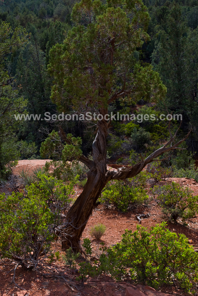 Tree4336.jpg, Sedona Stock Images, Sedona Stock Photo, Landscape Photographer Victor Cariri, AZ Tree